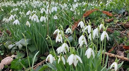 Flowering Woodland Bulbs Thrive In Unusually Warm February Henley