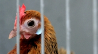 Why we love chickens