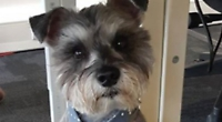 Bertie the Miniature Schnauzer proves miracles can and do happen