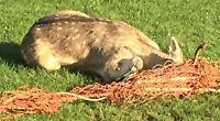 Vet saves deer stuck in netting