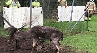 Firefighters help rescue deer caught in cricket nets