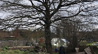 Villager concerned about effect of pruning oak tree