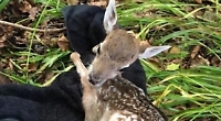 Couple save fawn stuck in fence