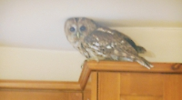 There's a tawny owl trapped in my kitchen