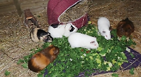 Pub's guinea pig palace