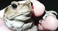 Volunteers save thousands of amphibians