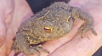 Patrollers call it a day after saving 6,893 spawning toads